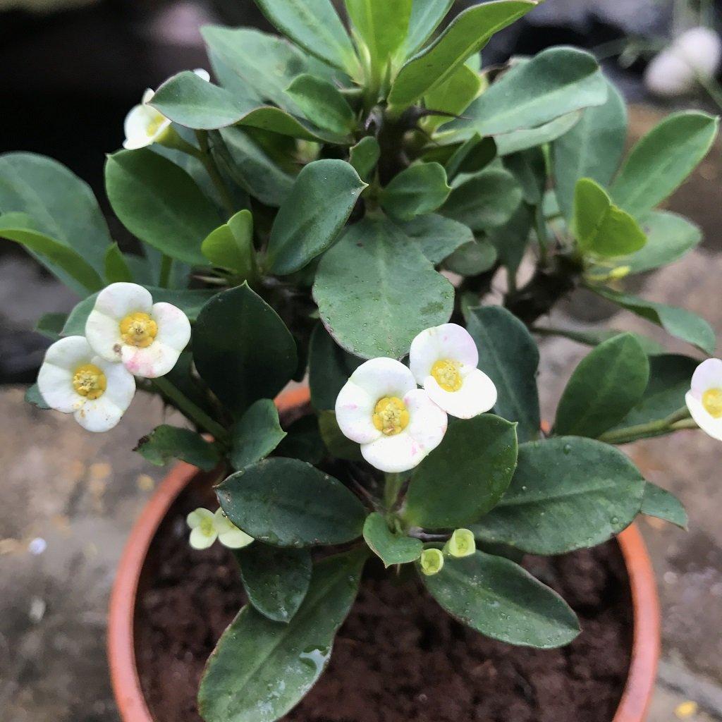 piante-anti-smog-euforbia