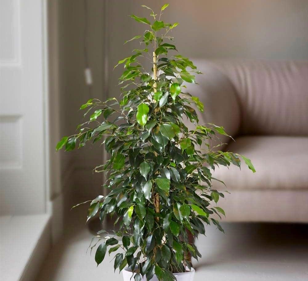 piante-anti-smog-ficus
