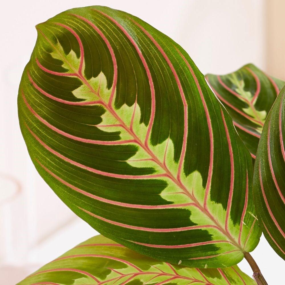 piante-anti-smog-maranta