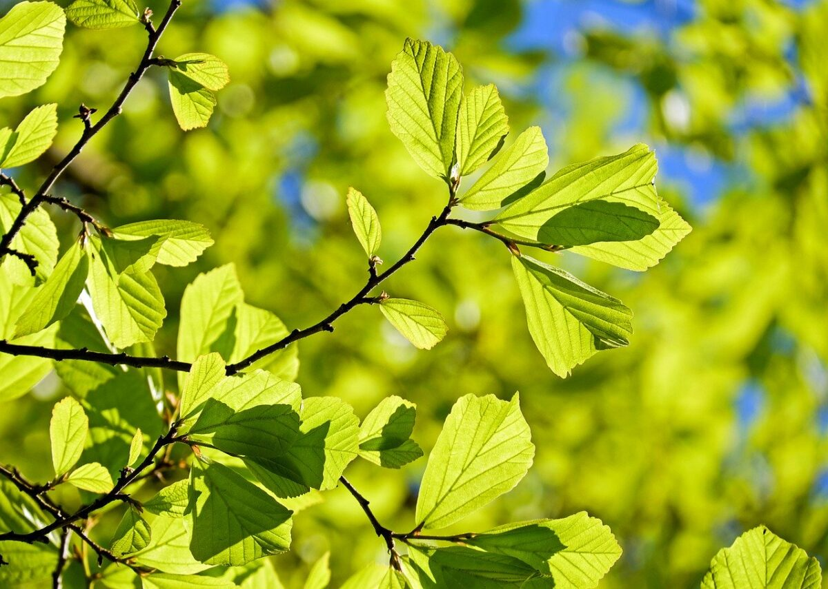 Quercia-foglie
