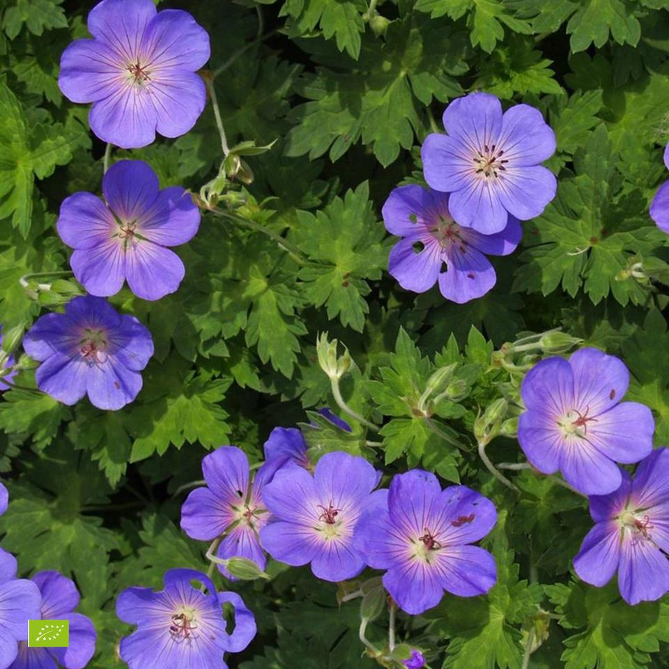 Geranio Rozanne-fioritura