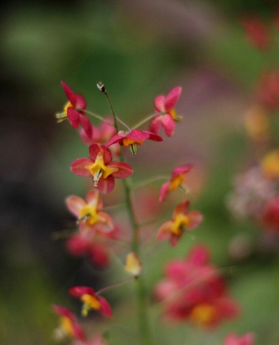 Epimedium-varietà