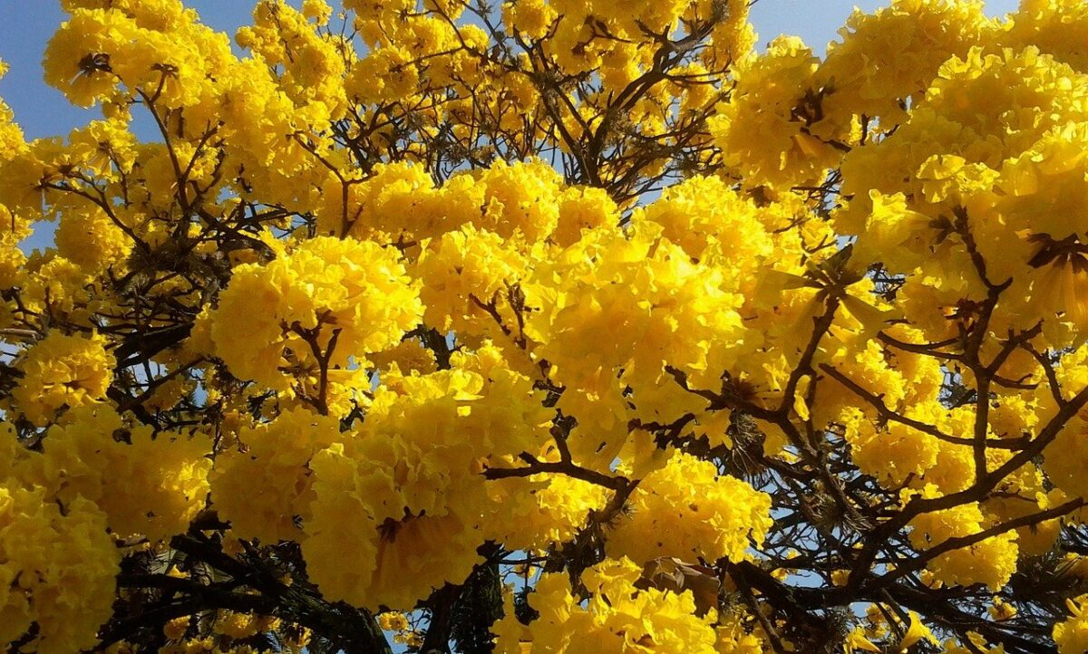 Lapacho-Tabebuia gialla