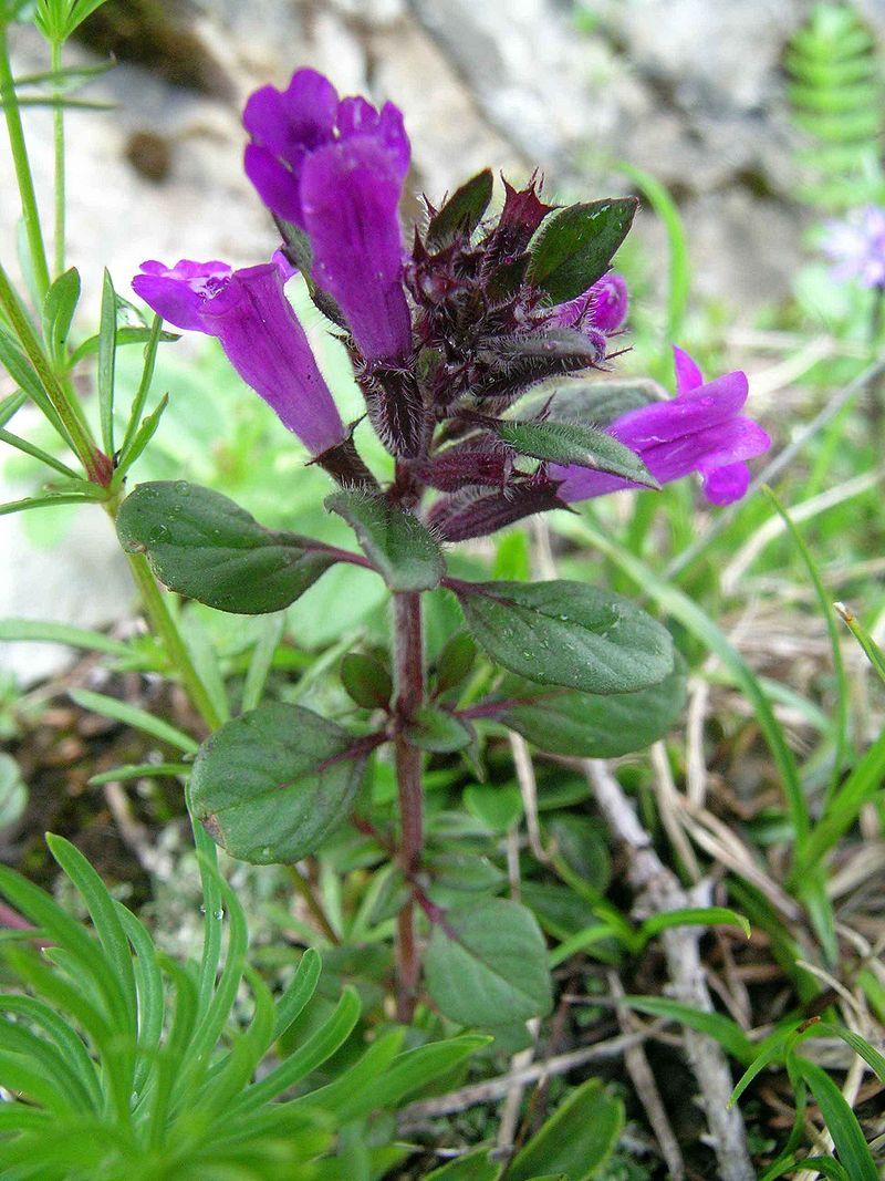 Acinos-alpinus-coltivazione