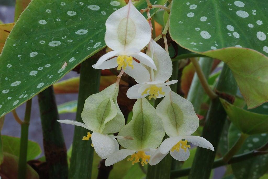 Begonia corallina-fiori bianchi