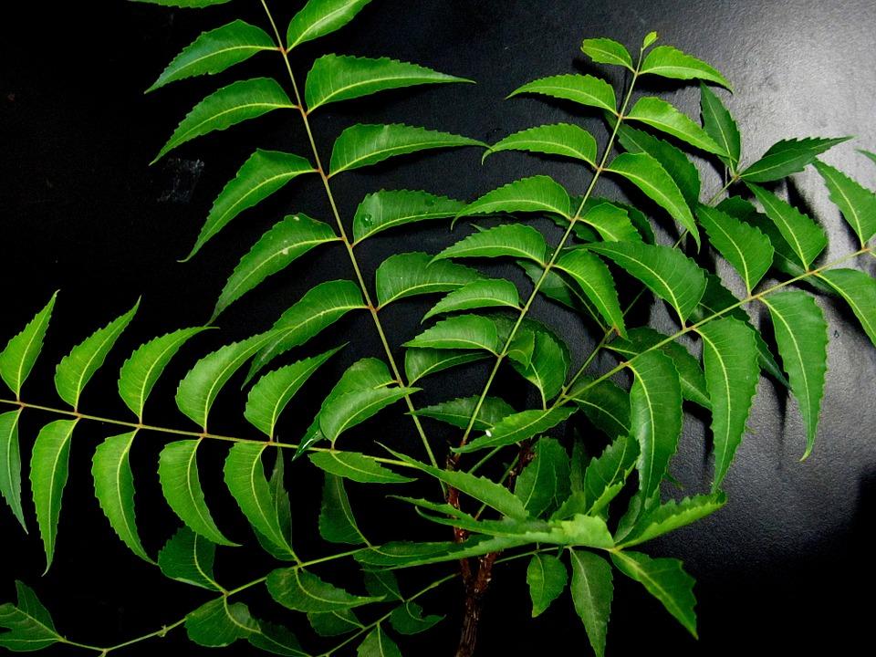 Neem-foglie