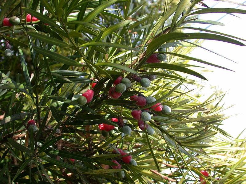 Podocarpo-Podocarpus macrophyllus-frutti