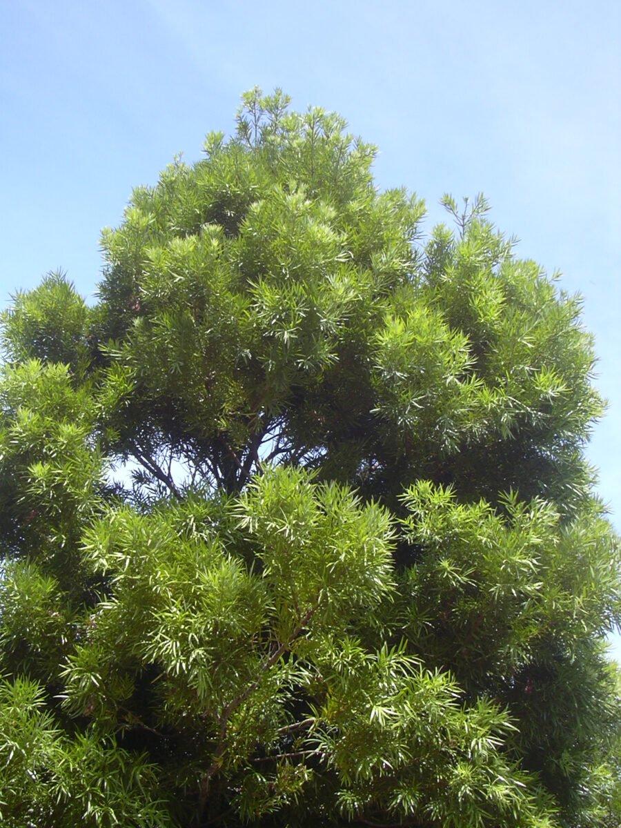 Podocarpo-Podocarpus