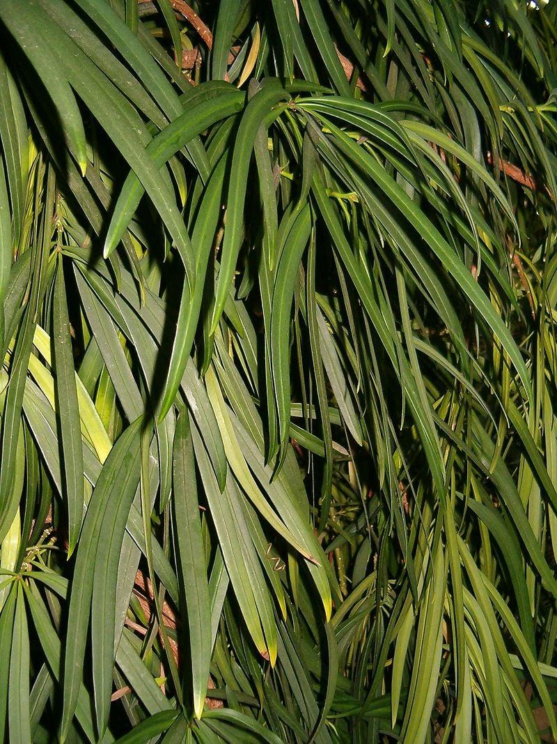 Podocarpus-macrophyllus-foglie
