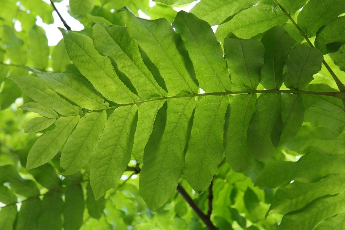 Noce del Caucaso – Pterocarya fraxinifolia-foglie