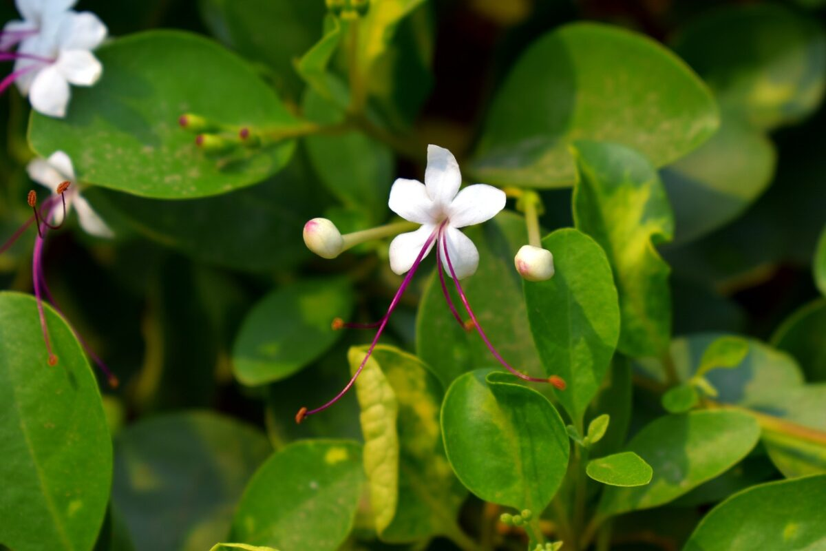 Clerodendrum-varietà