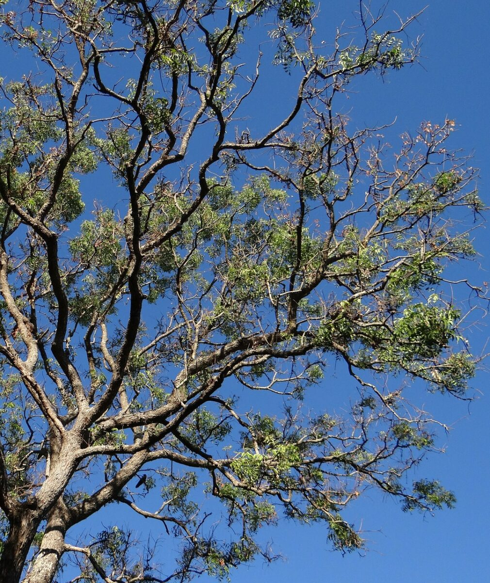 Neem-Azadirachta indica