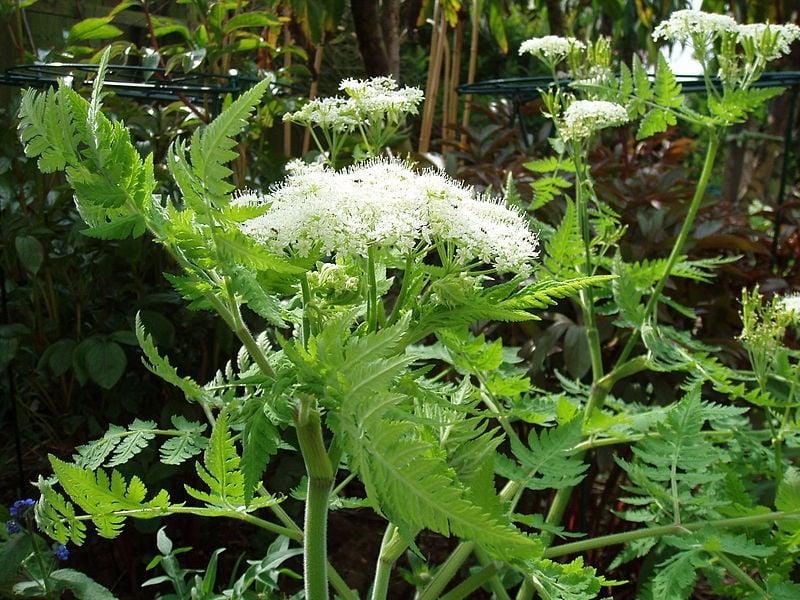 Finocchiella – Myrrhis odorata