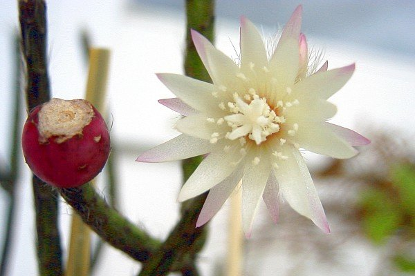 Rhipsalis-pilocarpa-fiori-frutti