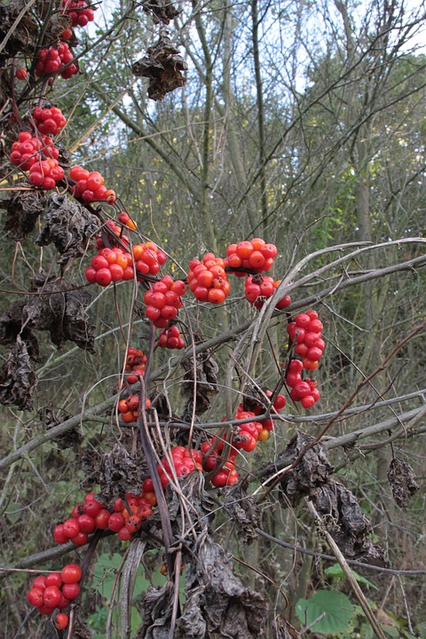 Tamaro-pianta velenosa