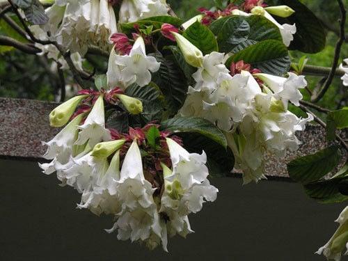 Beaumontia – Beaumontia grandiflora