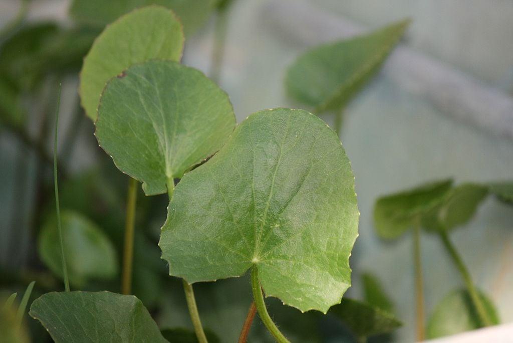 Centella-foglie