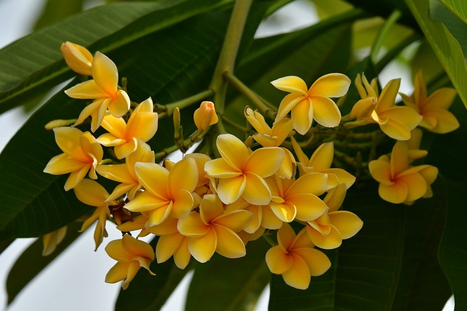 Plumeria-frangipani-Pomelia