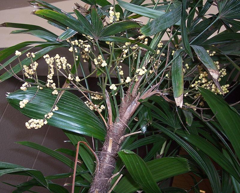 Rhapis-frutti