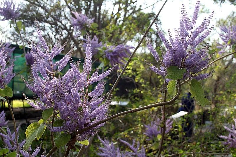 Tetradenia-fiori viola