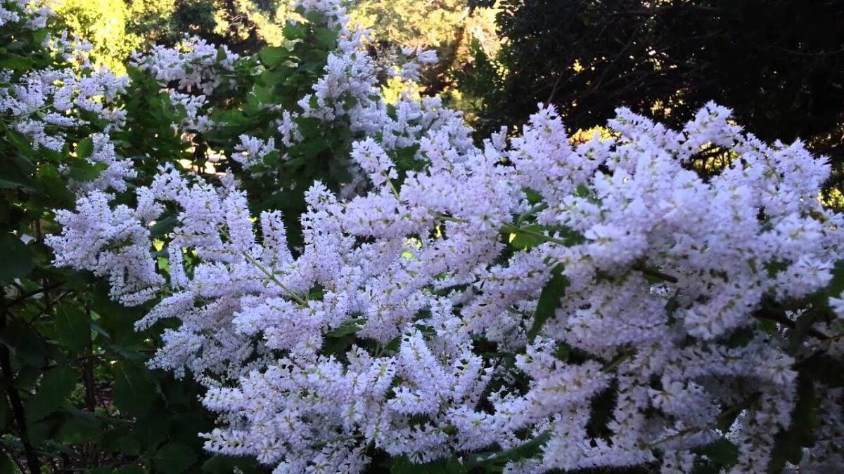 Tetradenia-fioritura