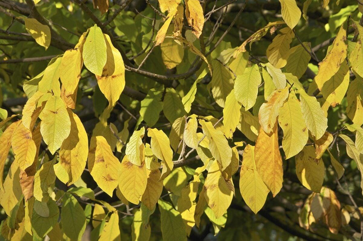 Asimina triloba-foglie