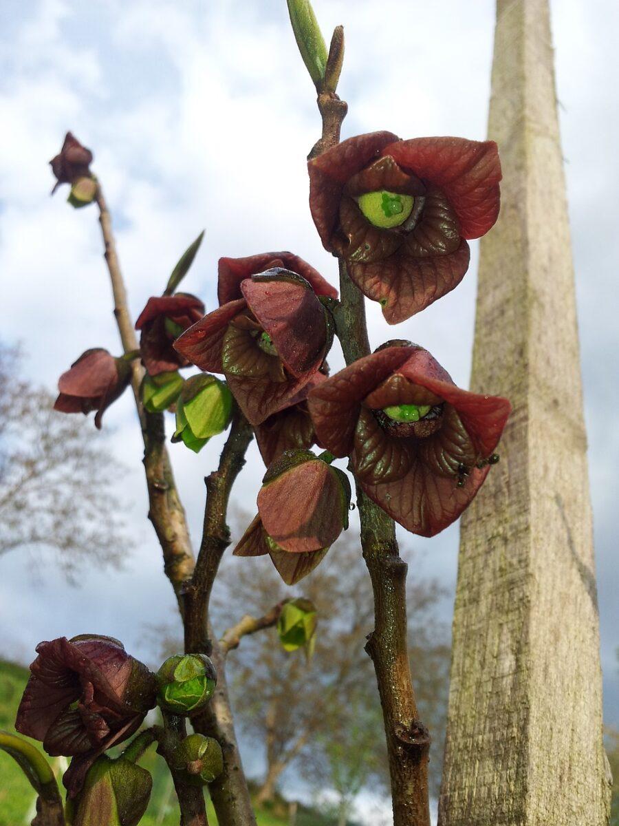 Asimina triloba-fiori