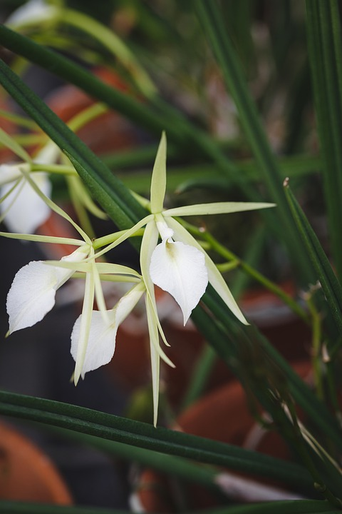 Brassavola-fioritura