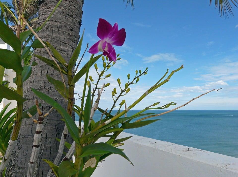 Laelia-orchidea-epifita