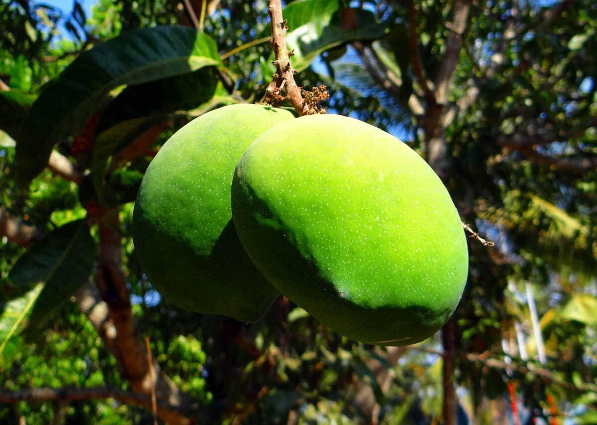 Mango-Mangifera-frutti acerbi