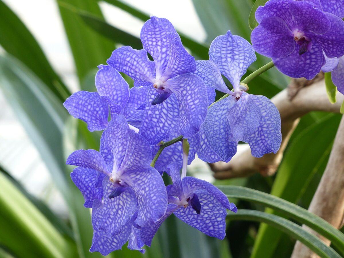 Vanda – Orchidee Vanda