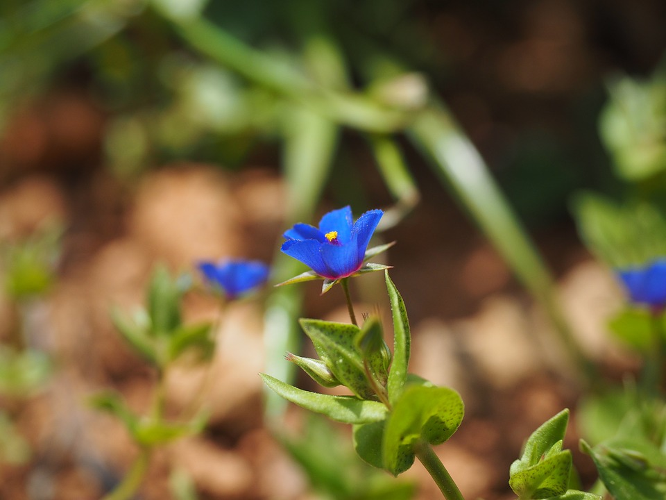 Anagallis-blue-pimpernel