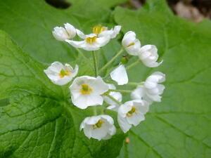 Diphylleia grayi – Skeleton flower