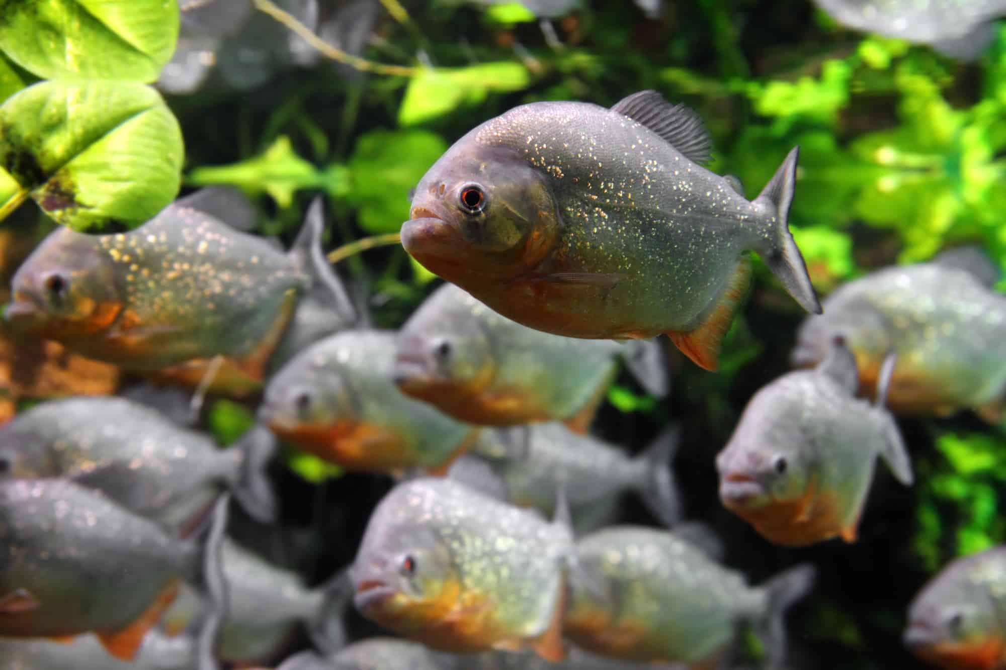 acquario-piranha-allestimento-i-primi-passi-1