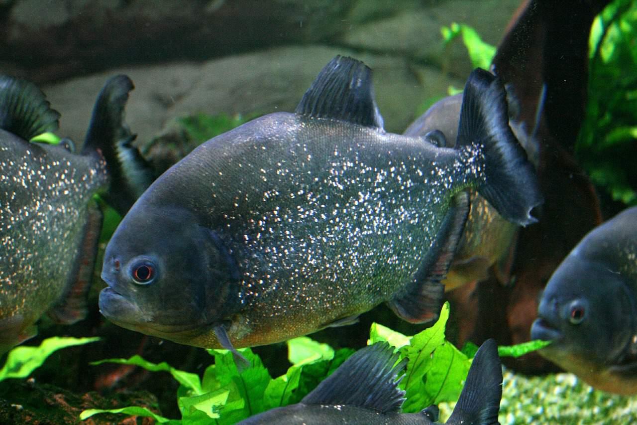 acquario-piranha-allestimento-i-primi-passi-16