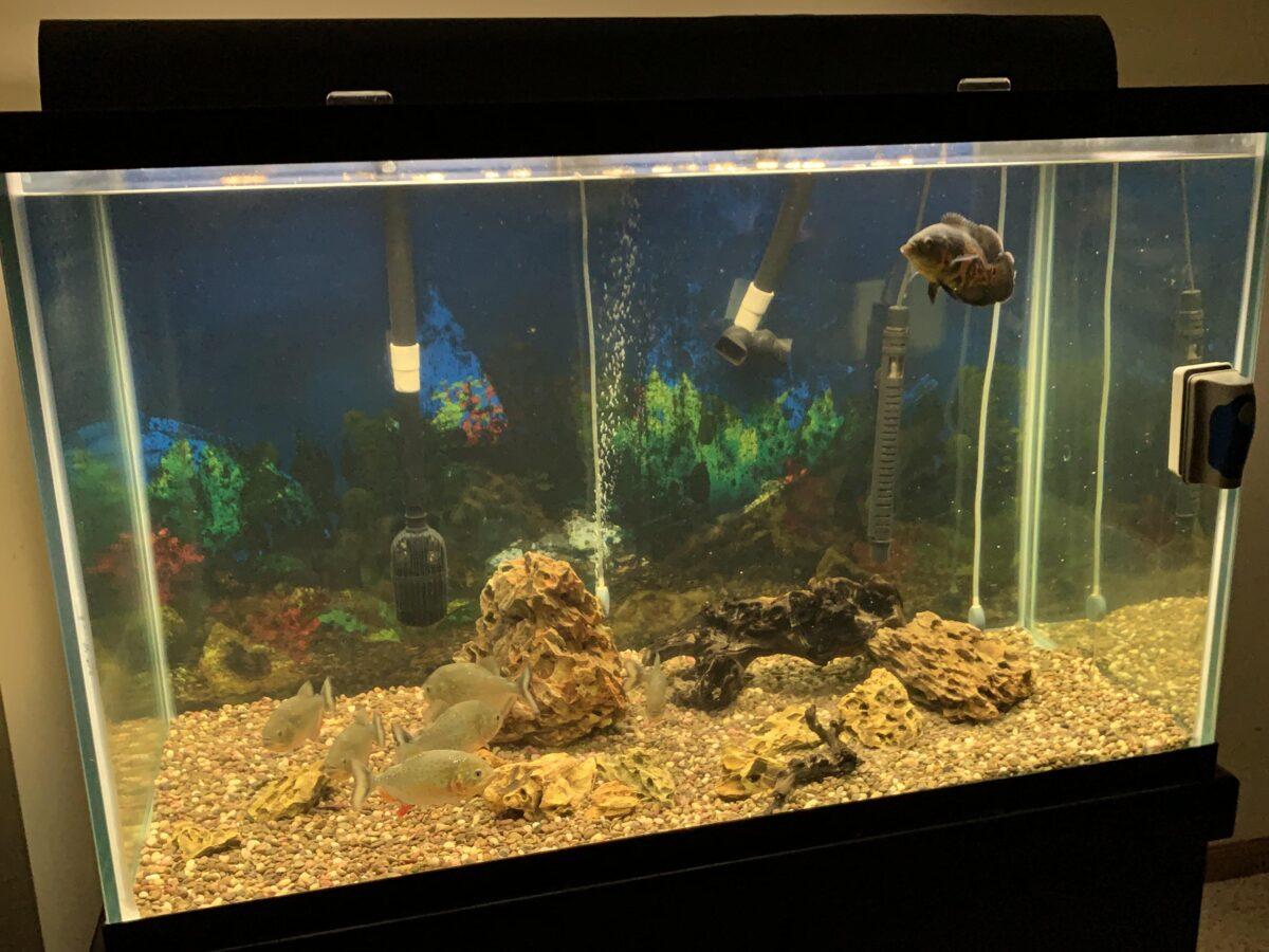 acquario-piranha-allestimento-i-primi-passi-4