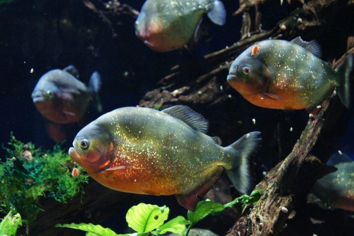 acquario-piranha-allestimento-i-primi-passi