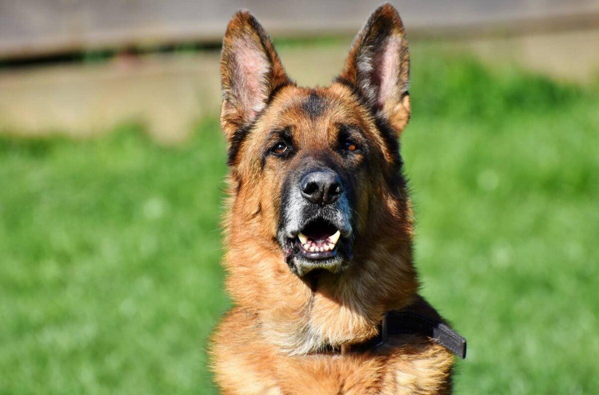 Cani da Guardia e Difesa: qualche consiglio
