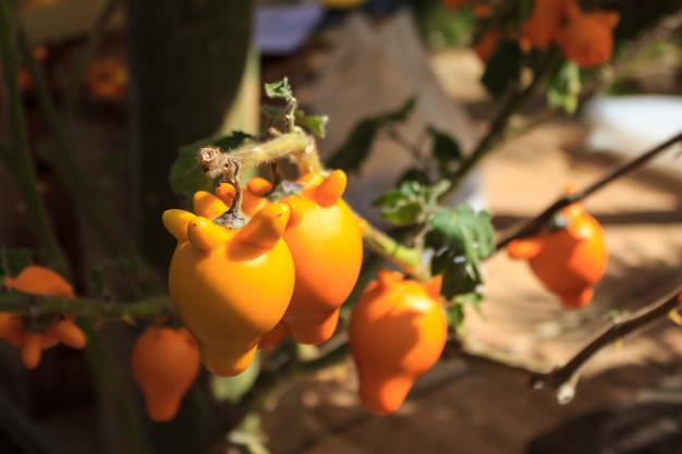 Solanum mammosum – Pianta dei capezzoli