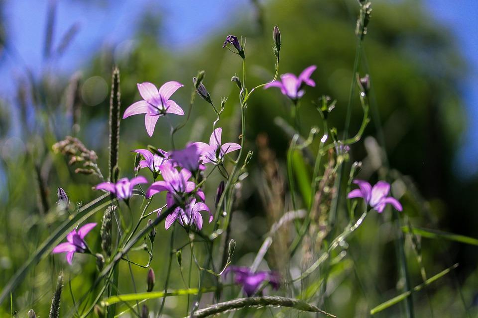 Campanula-rapunculus-fiori