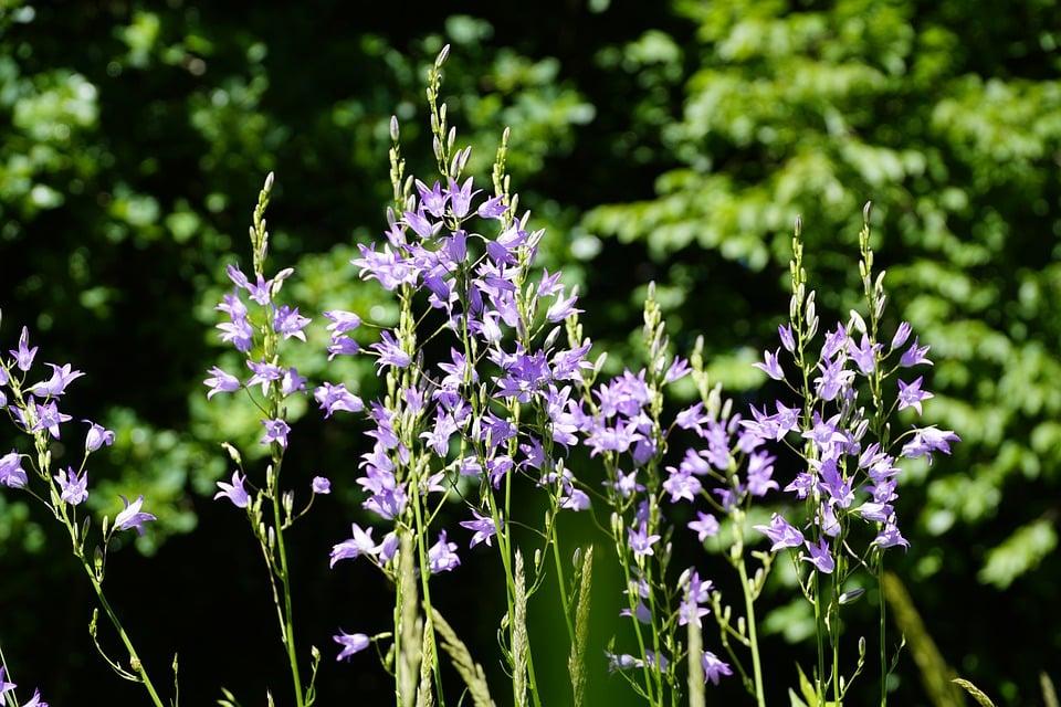 Campanula rapunculus-fioritura