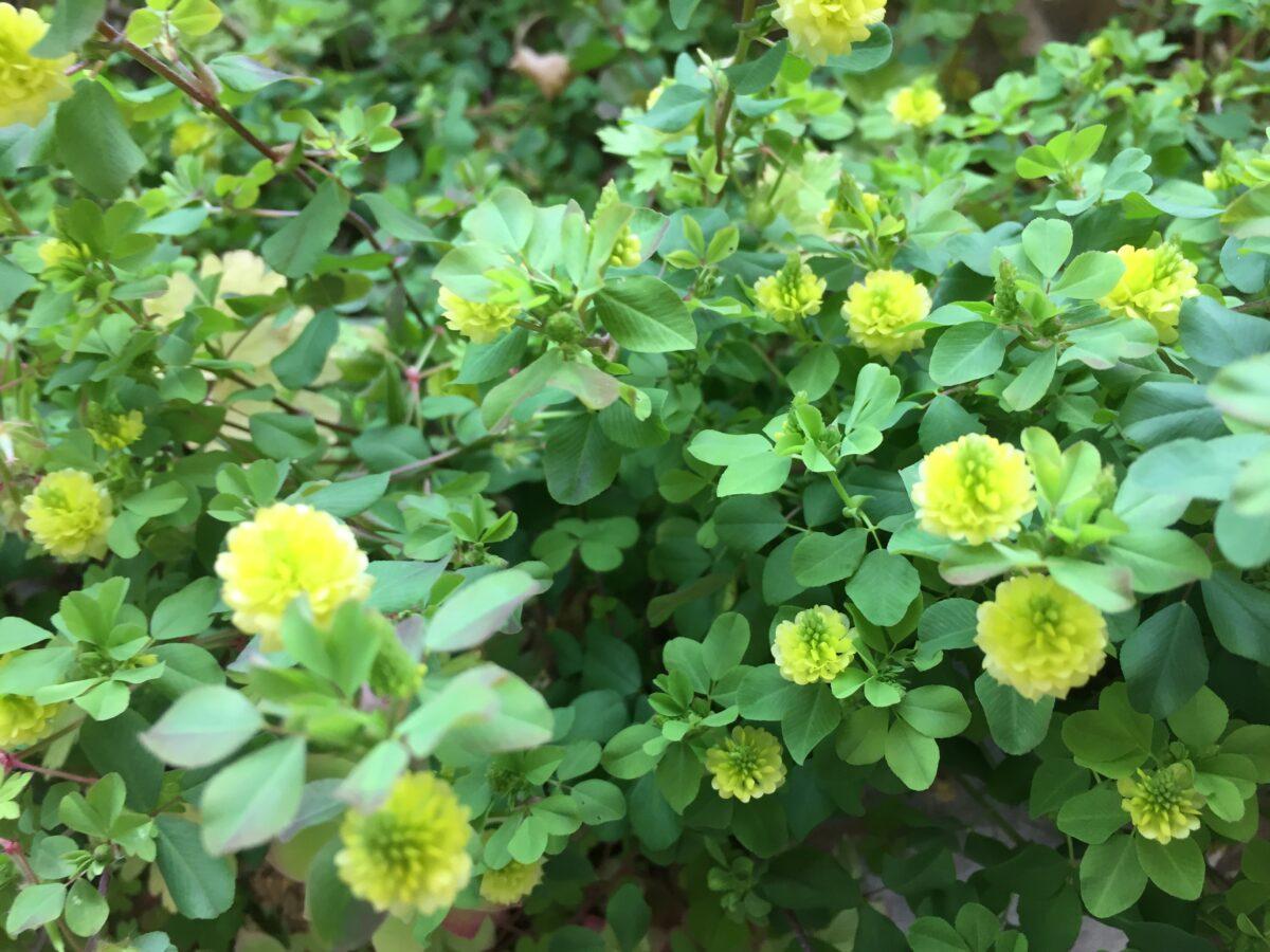 Trifoglio campestre – Trifolium campestre
