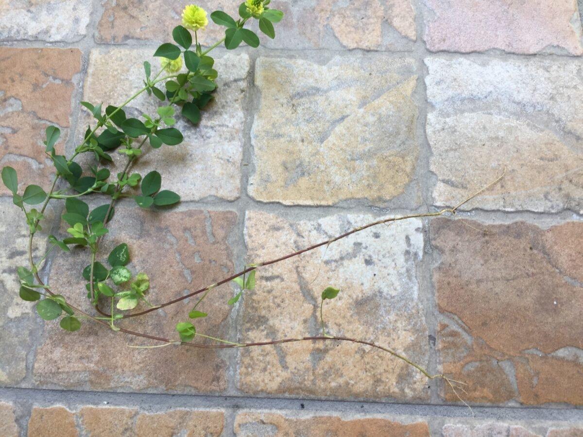 Trifoglio-campestre-radici