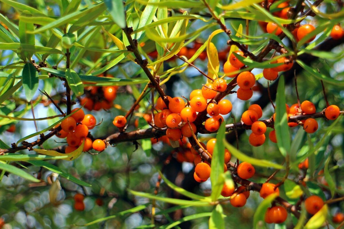 Sorbe-frutti