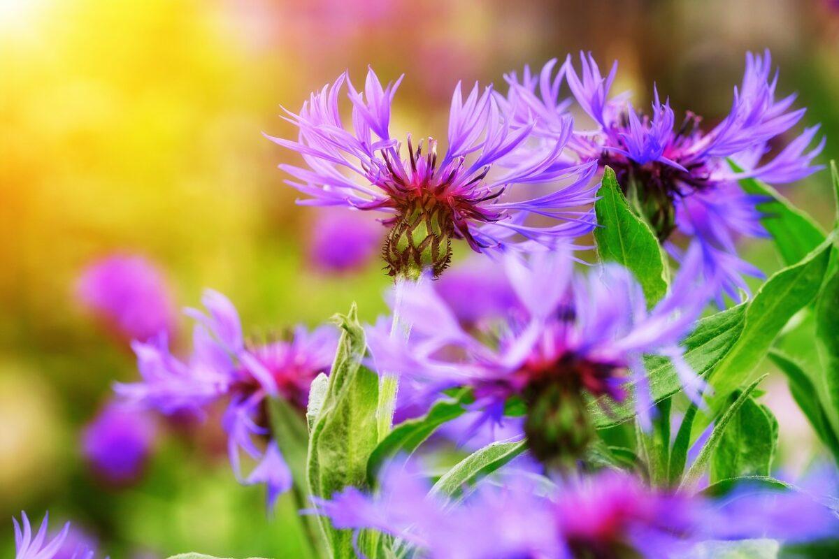 Fiordaliso, Centaurea
