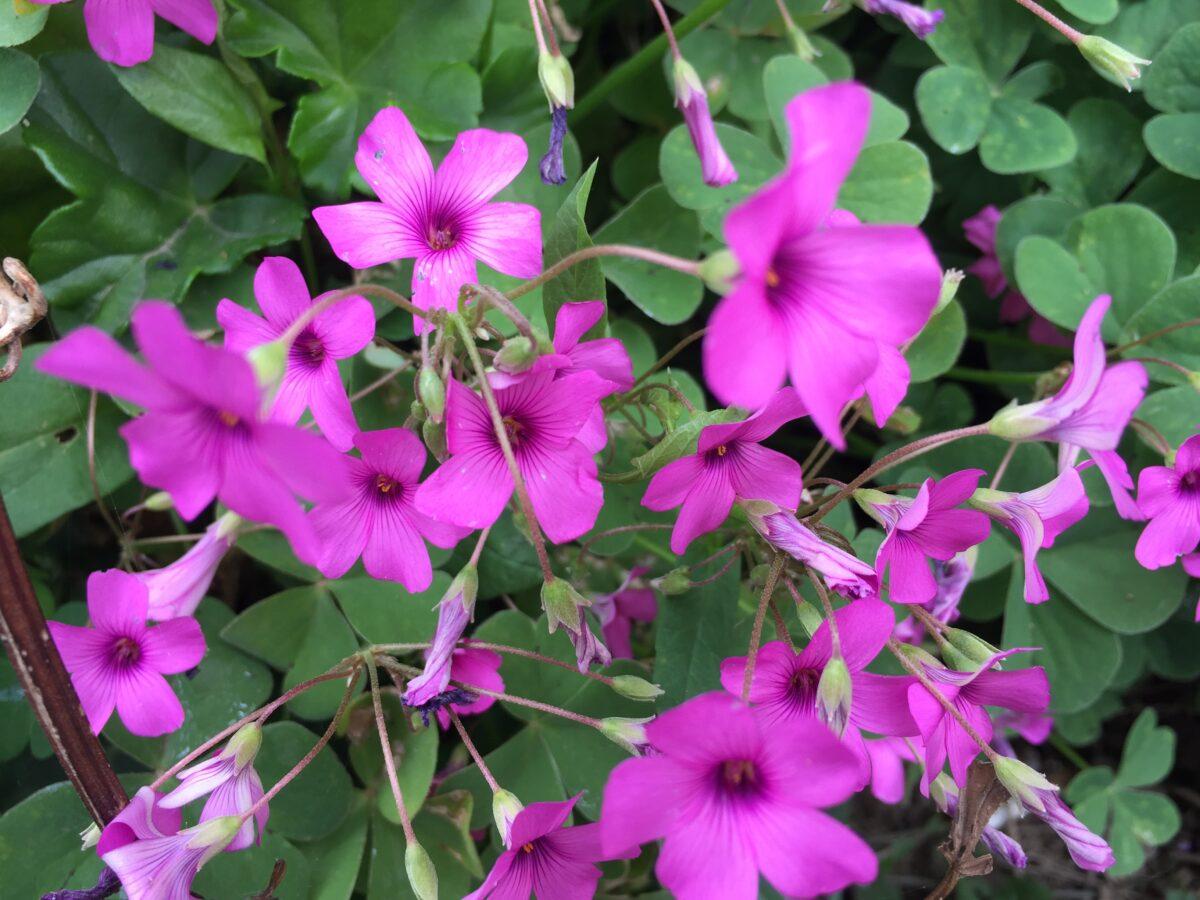 Oxalis-fiori