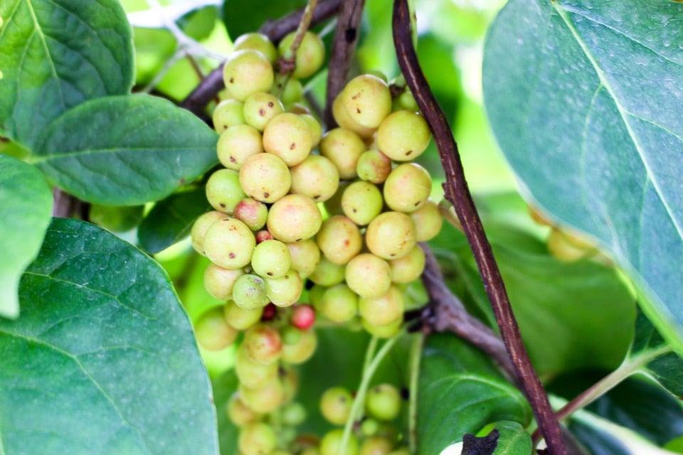 Schisandra-frutti