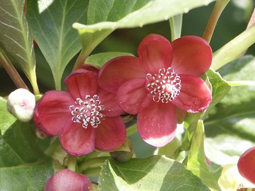 Schisandra rubriflora