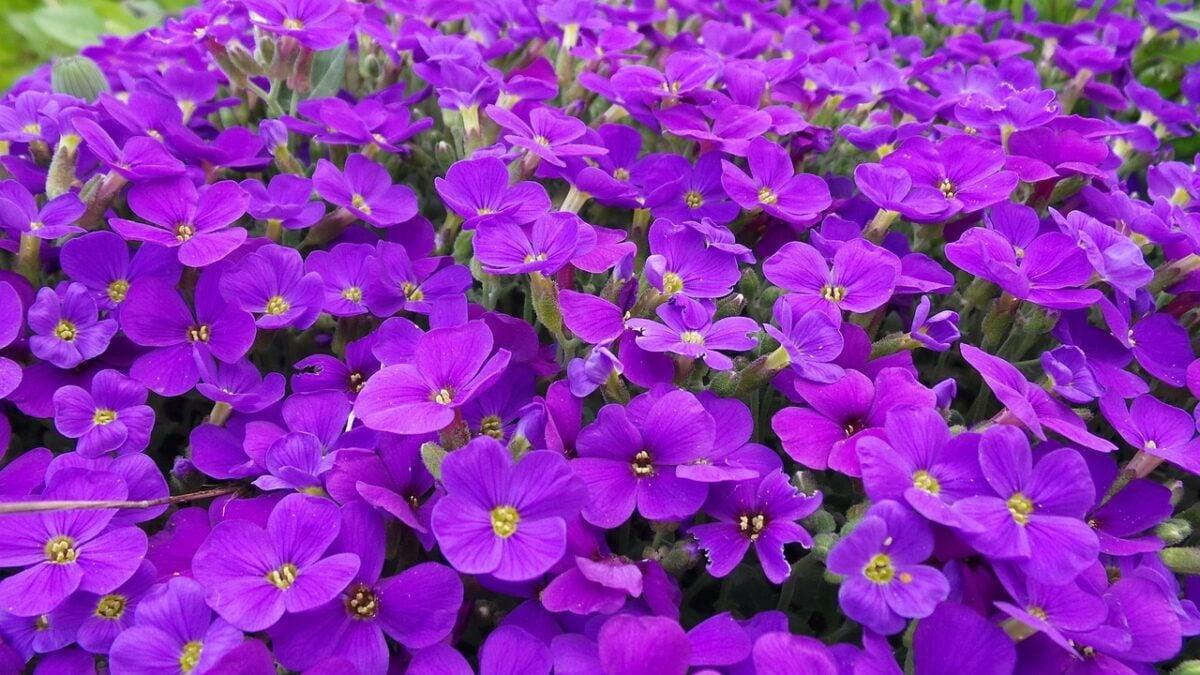 Aubretia-Aubretia gracilis cascade purple