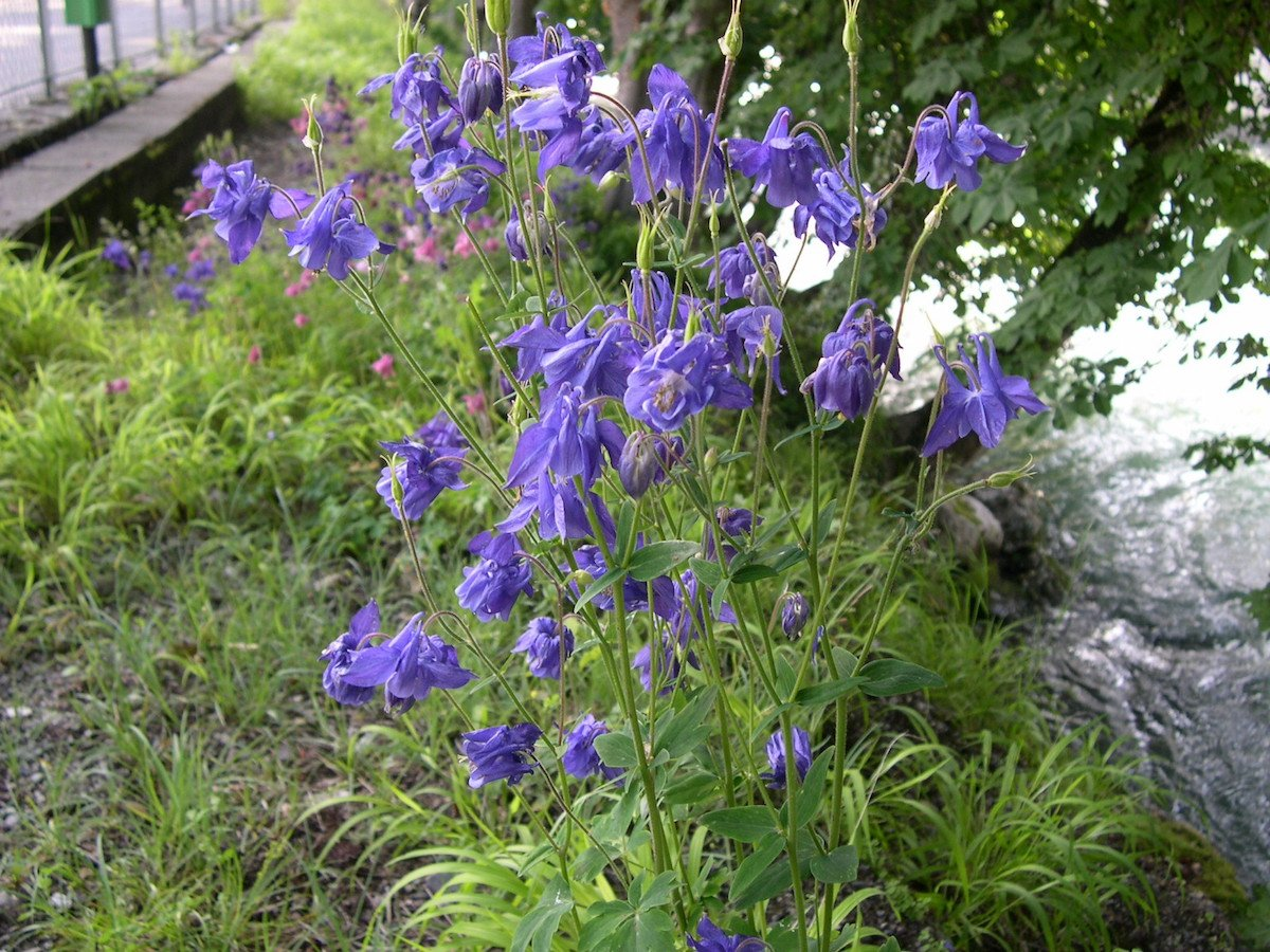 piante-color-viola-aquilegia-vulgaris-2